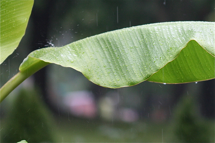 rain-banana-leaf-warrington