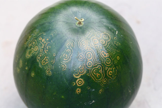 watermelon mosaic virus