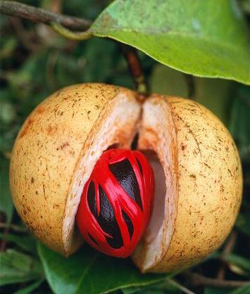 myristica fragrans nutmeg seed